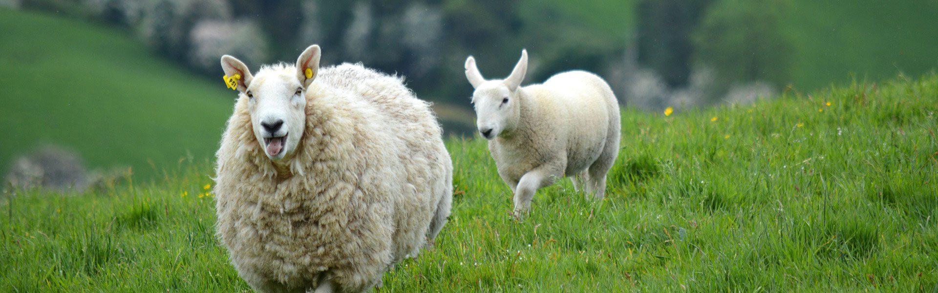 sheep1_1920_opt